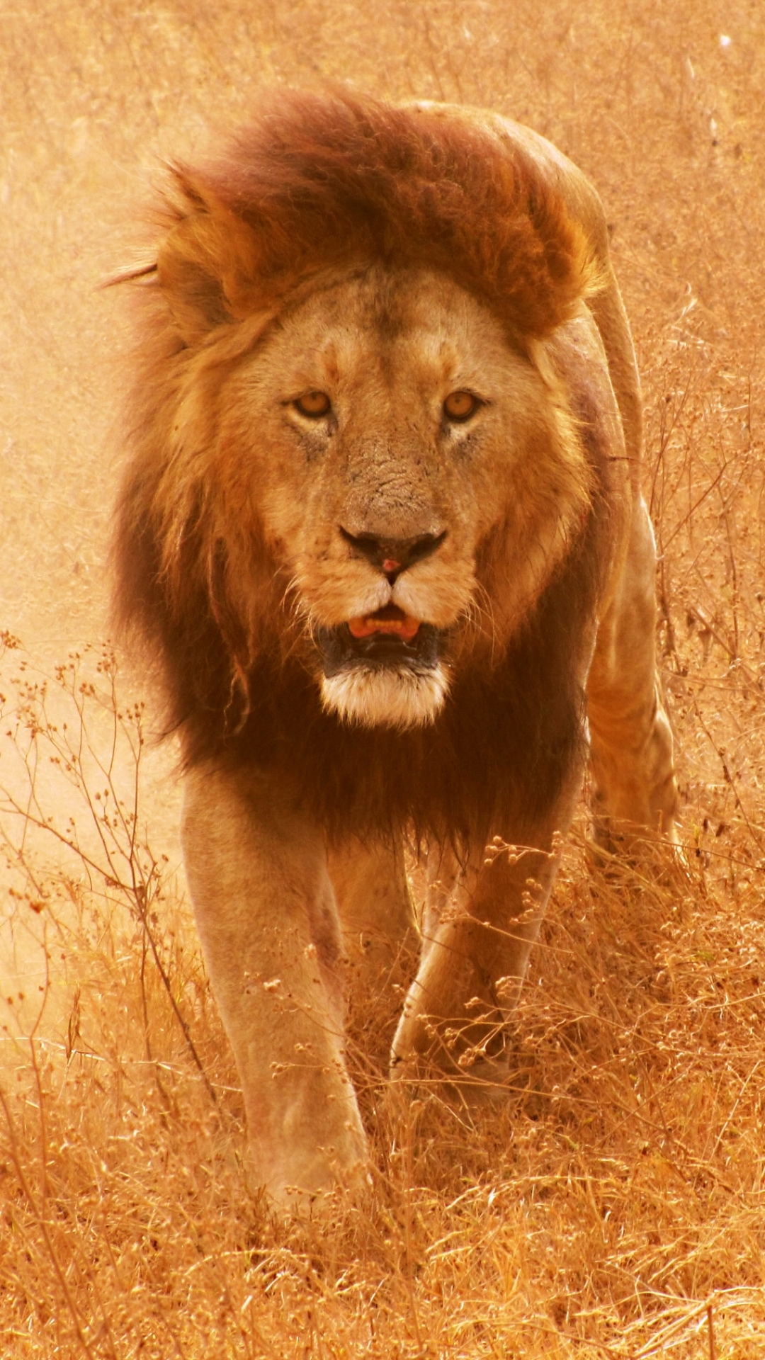 Great Wallpaper Mobile Lion - 134000  Picture_419950.jpg
