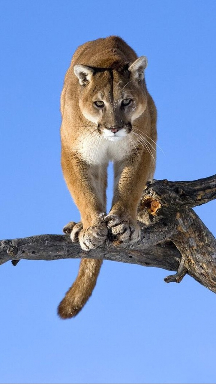 animal/cougar (720x1280) wallpaper id: 178412 - mobile abyss