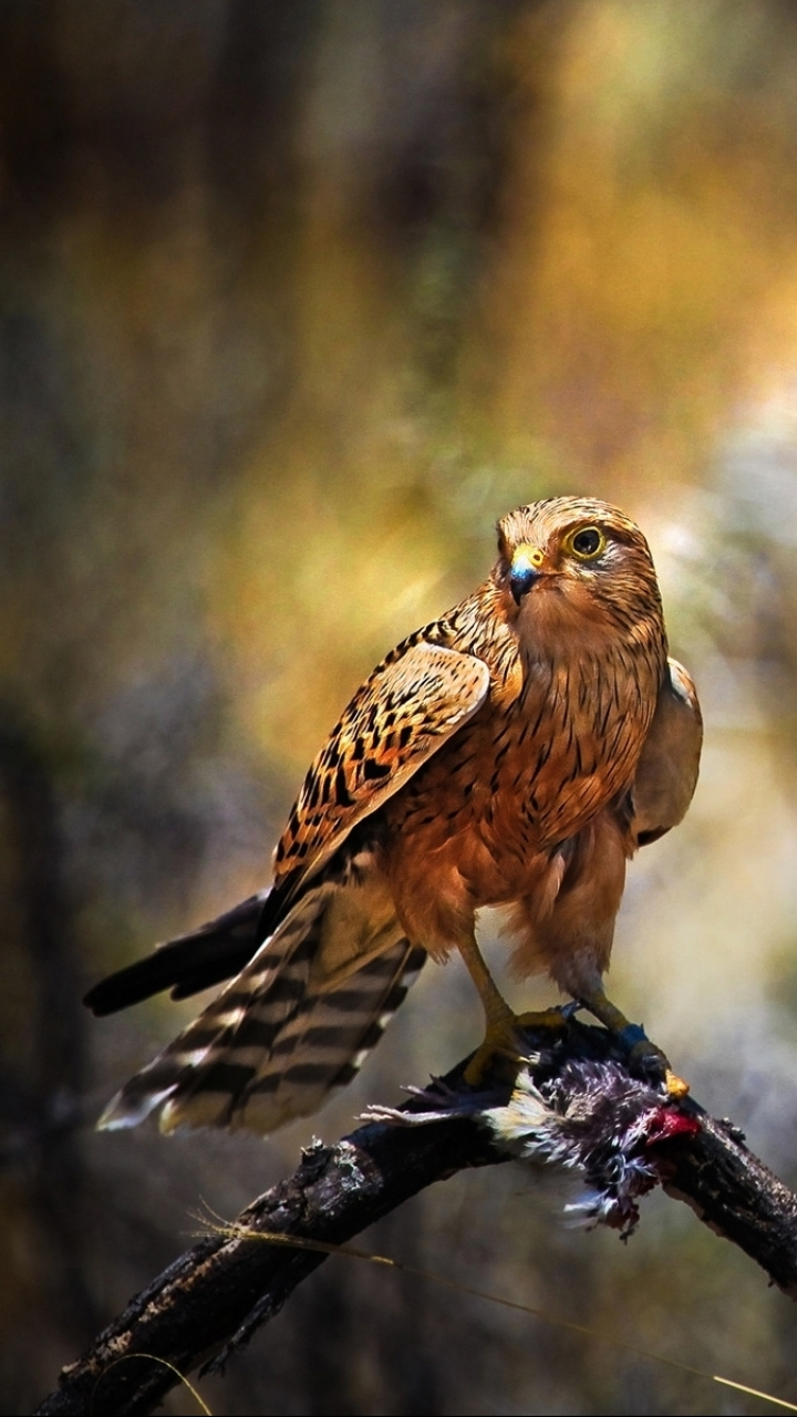 Animal Hawk 720x1280 Mobile Wallpaper