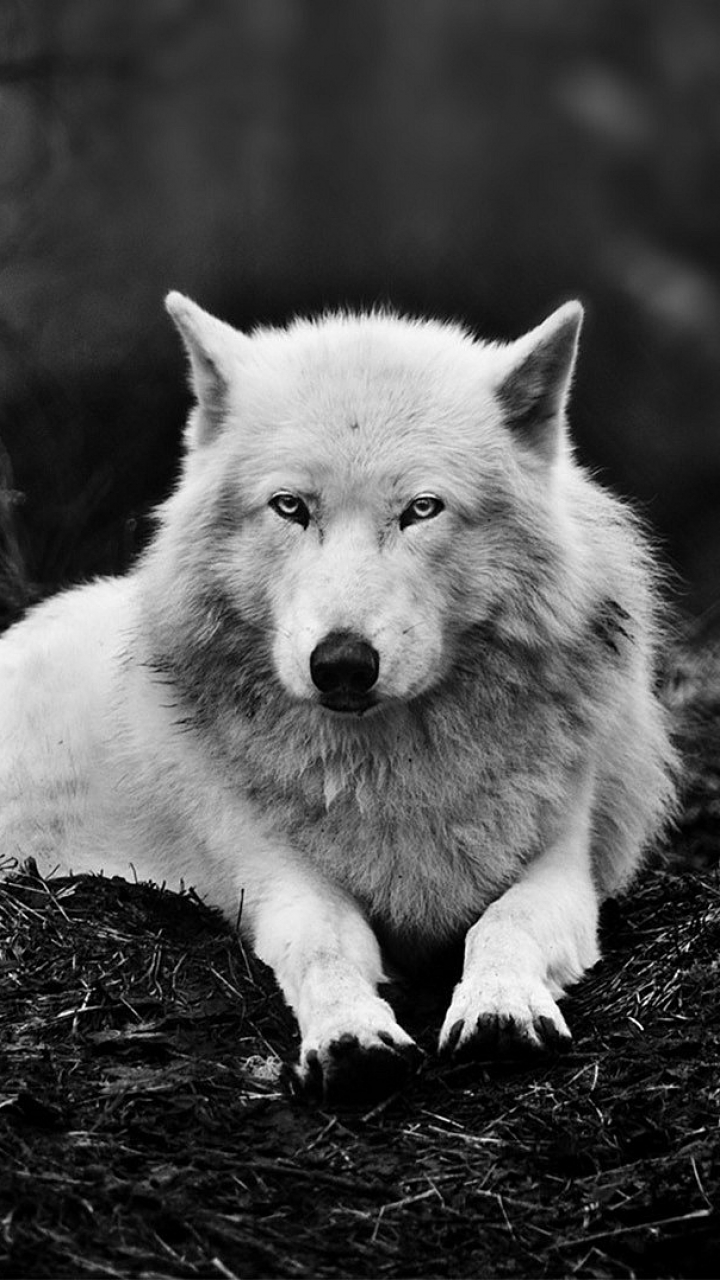 Photo Collection White Wolf Iphone Wallpaper