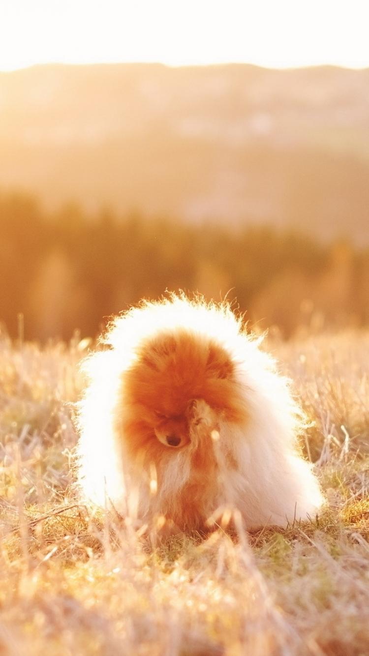 Animal Pomeranian 750x1334 Mobile Wallpaper
