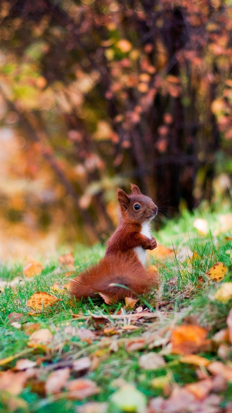Red Squirrel HD desktop wallpaper High Definition Fullscreen