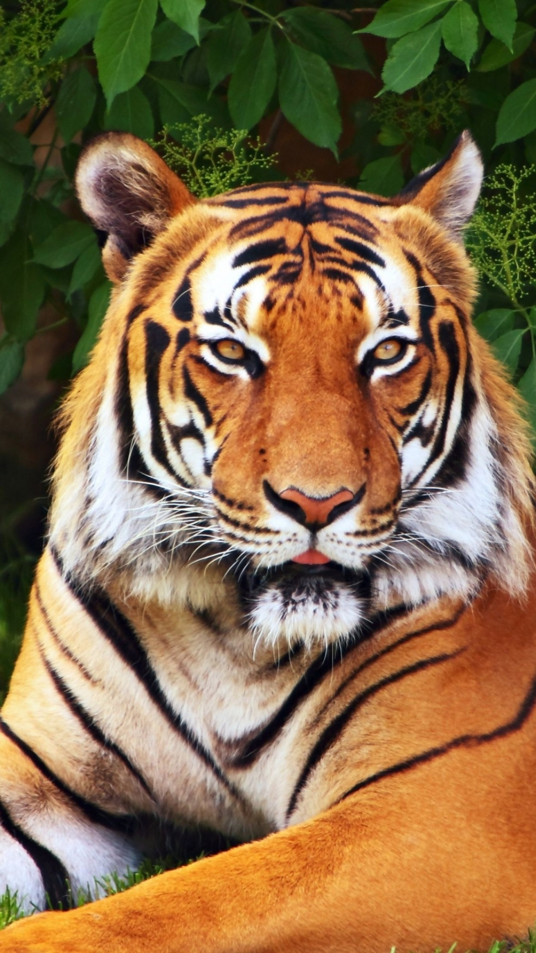 tiger wallpaper iphone