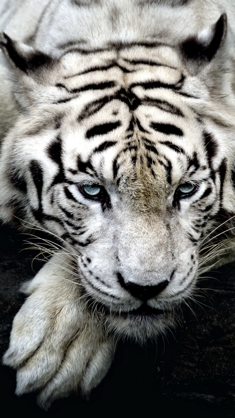 Animal White Tiger 750x1334 Wallpaper Id 587271 Mobile Abyss