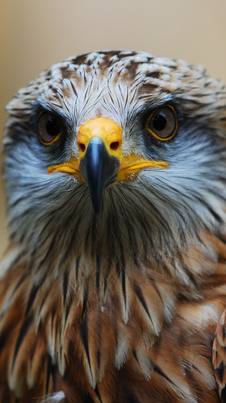 Animal Hawk 750x1334 Mobile Wallpaper