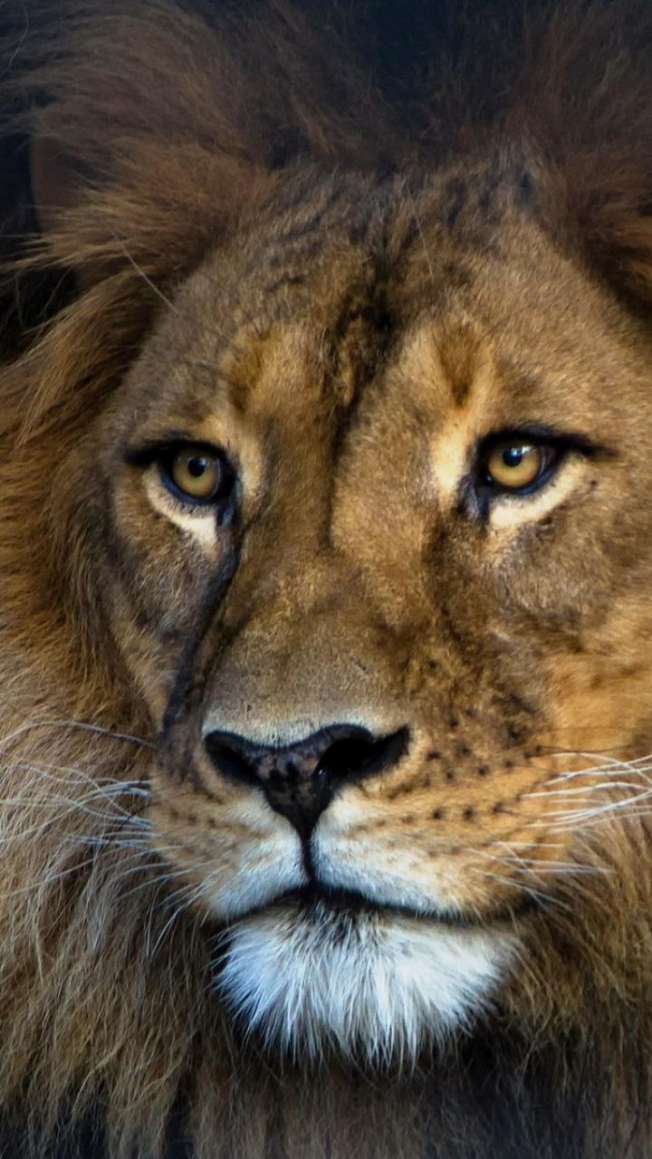 Wallpaper iphone lion - Wallpaper 590786