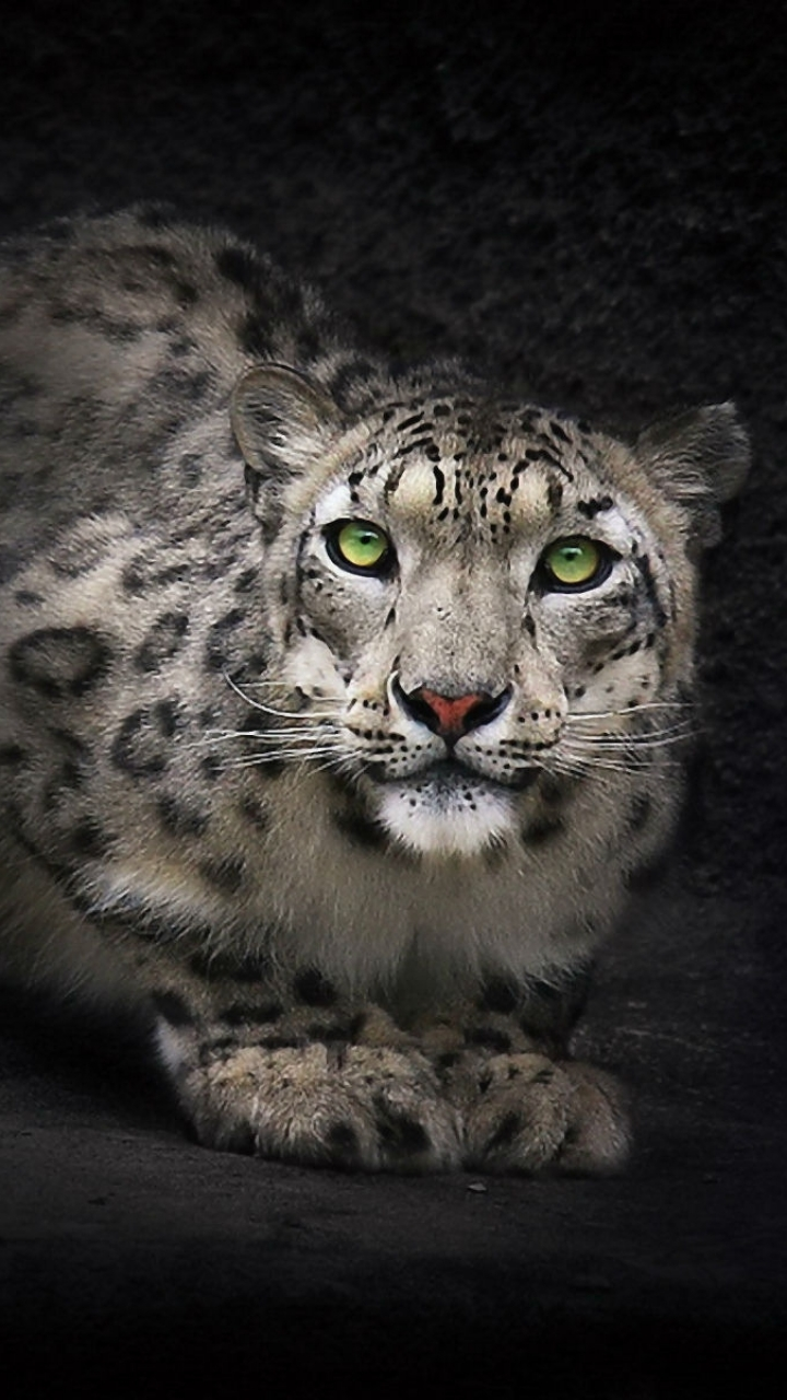 Animal Snow Leopard 720x1280 Wallpaper Id 592610 Mobile Abyss