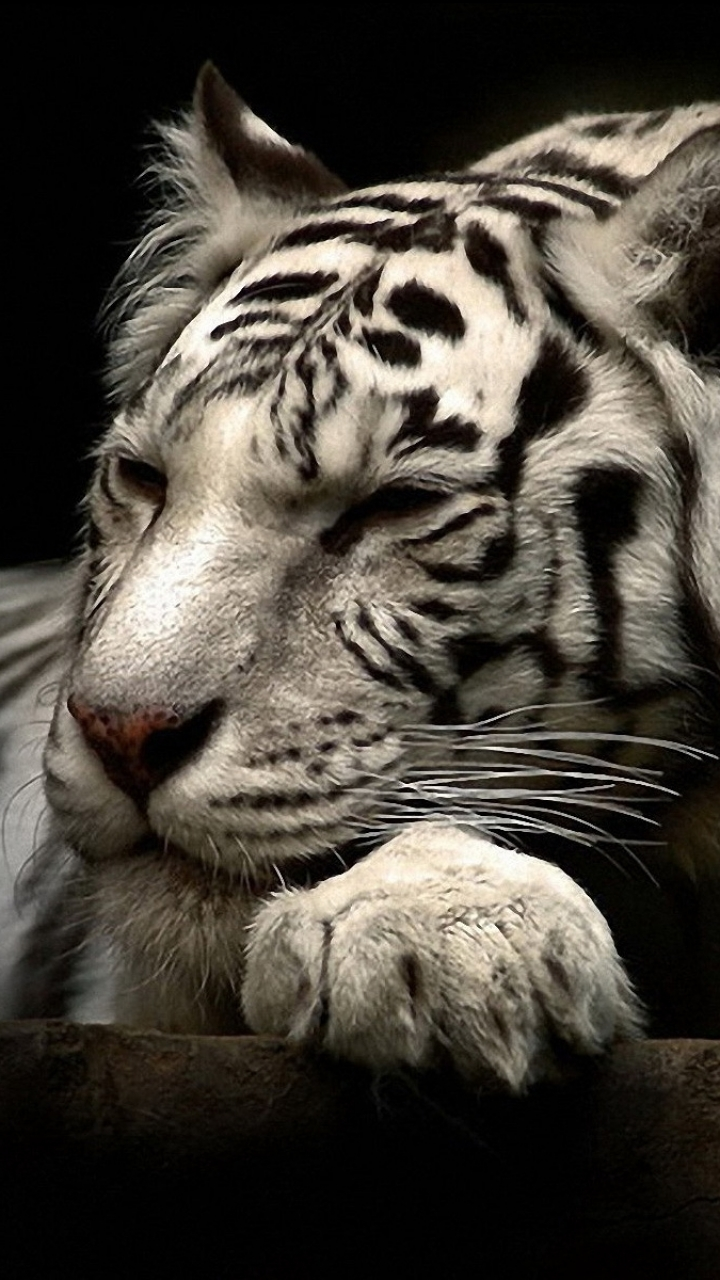 Animal White Tiger 720x1280 Wallpaper Id 594043 Mobile Abyss