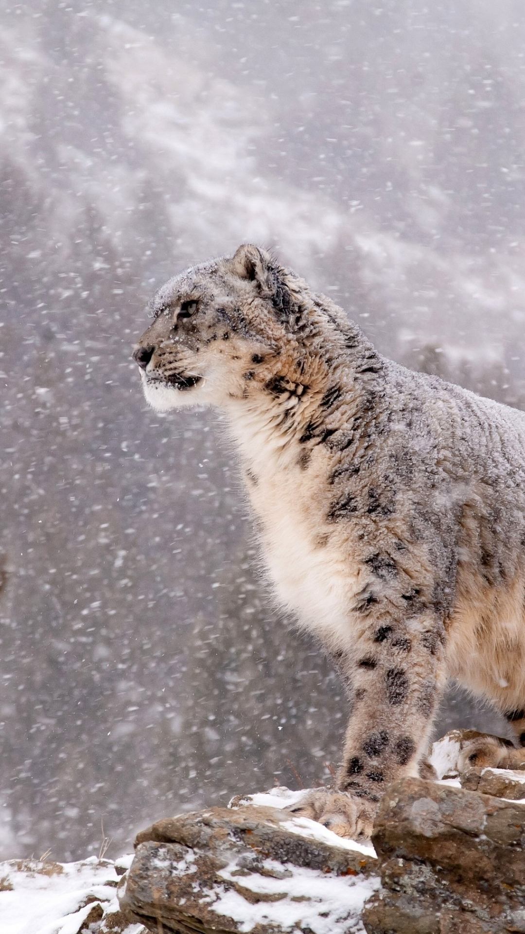 iPhone 7 Animal Snow Leopard Wallpaper ID