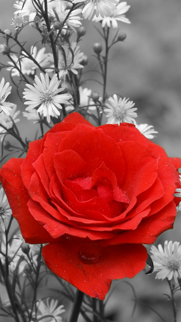 Rose Flower Images For Mobile Wallpaper sportstle
