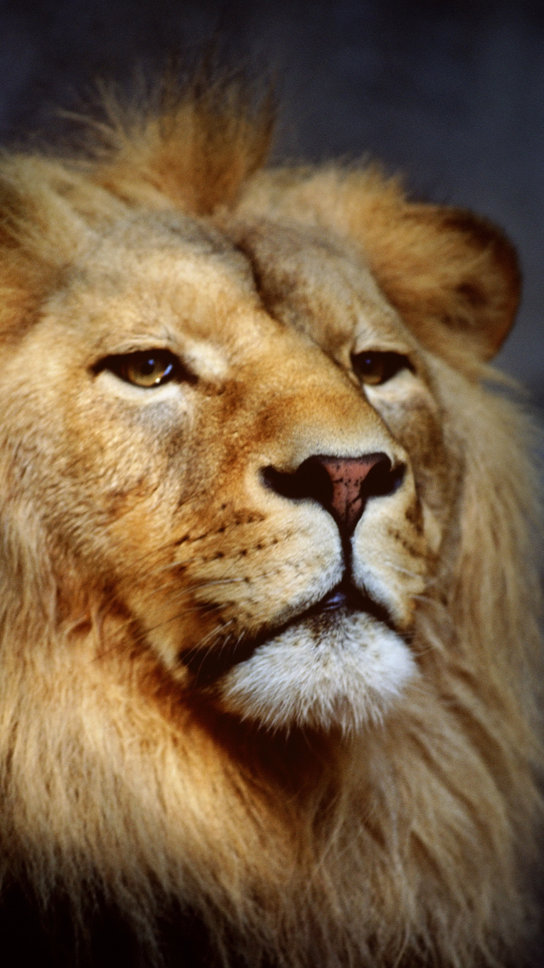 1080x1920 - Animal/Lion - Wallpaper ID: 605615