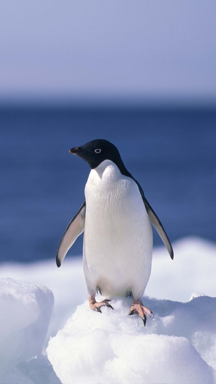 animal/penguin (750x1334) wallpaper id: 606378 - mobile abyss