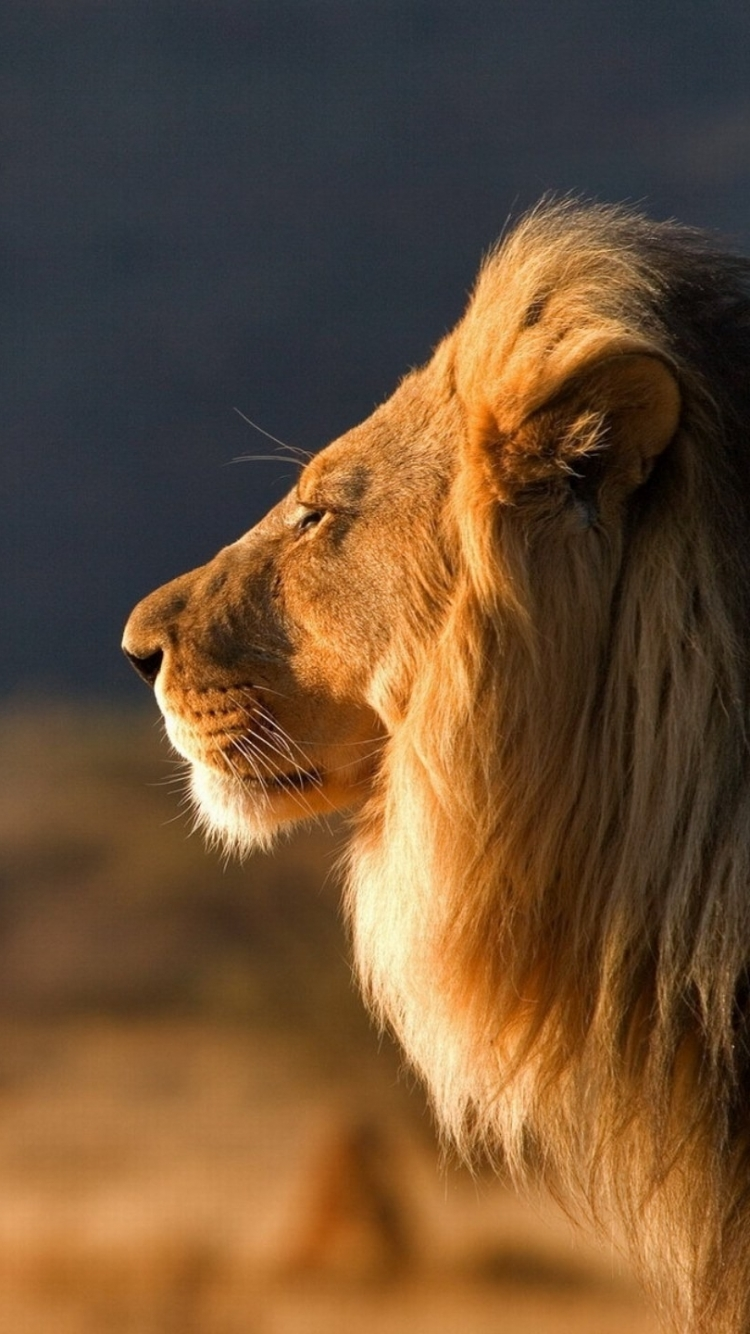 Great Wallpaper Mobile Lion - 608846  Picture_419950.jpg