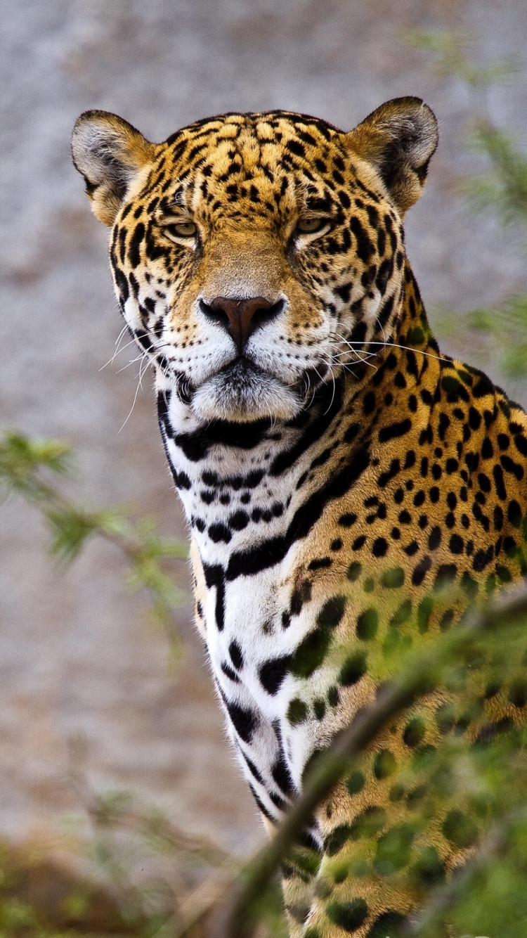 Jaguar wallpaper hd - Jaguar animal hd wallpapers ...