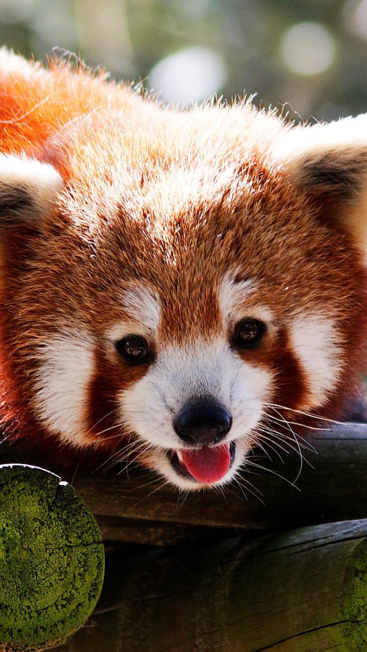 Red Panda Wallpaper Wallpapers App