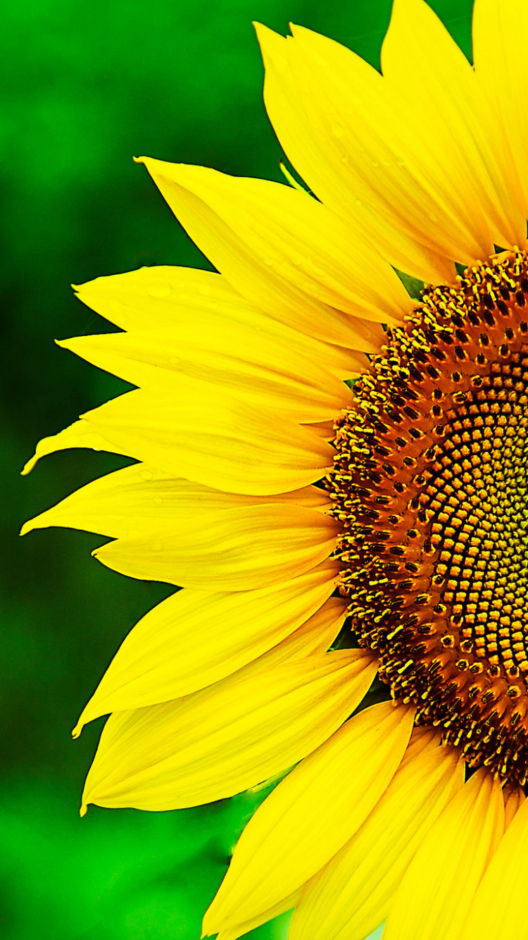 Group Of Sunflower Iphone Wallpaper
