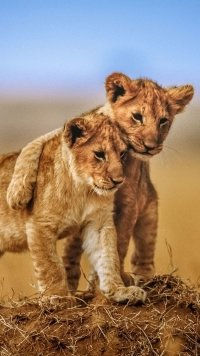 248 Lion Samsung Galaxy J7 720x1280 Wallpapers Mobile Abyss