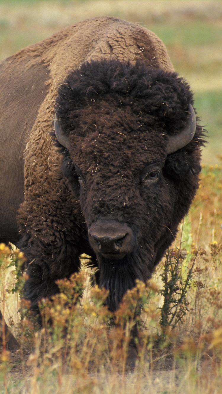 Good Bison Wallpaper - 638342  Photograph_633556.jpg