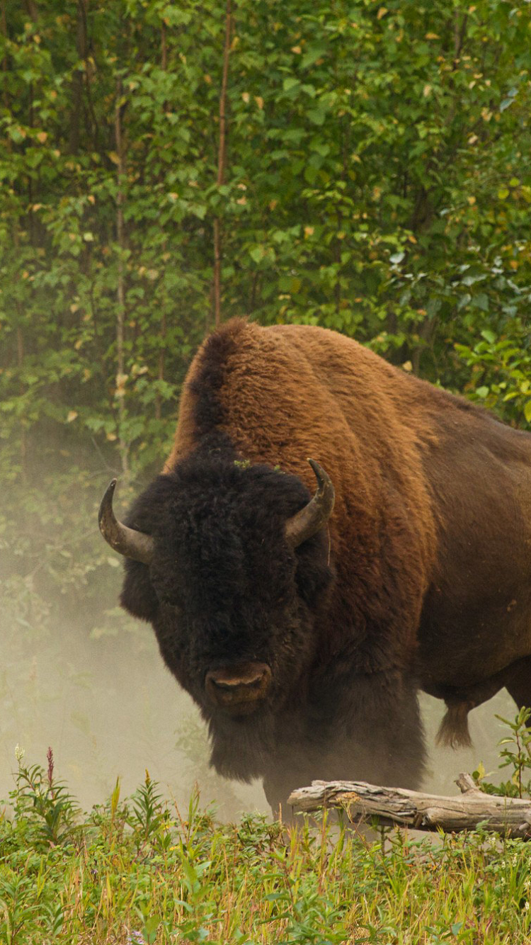Animal American Bison 750x1334 Wallpaper ID 638343
