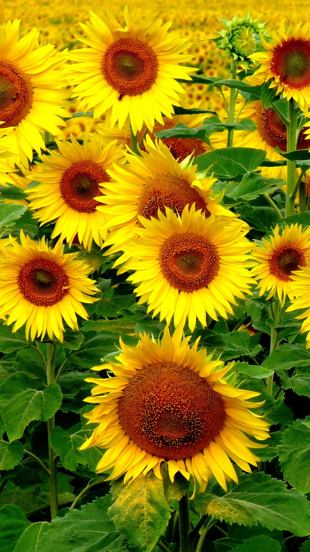 sunflower wallpaper iphone 6 wallpaper sportstle