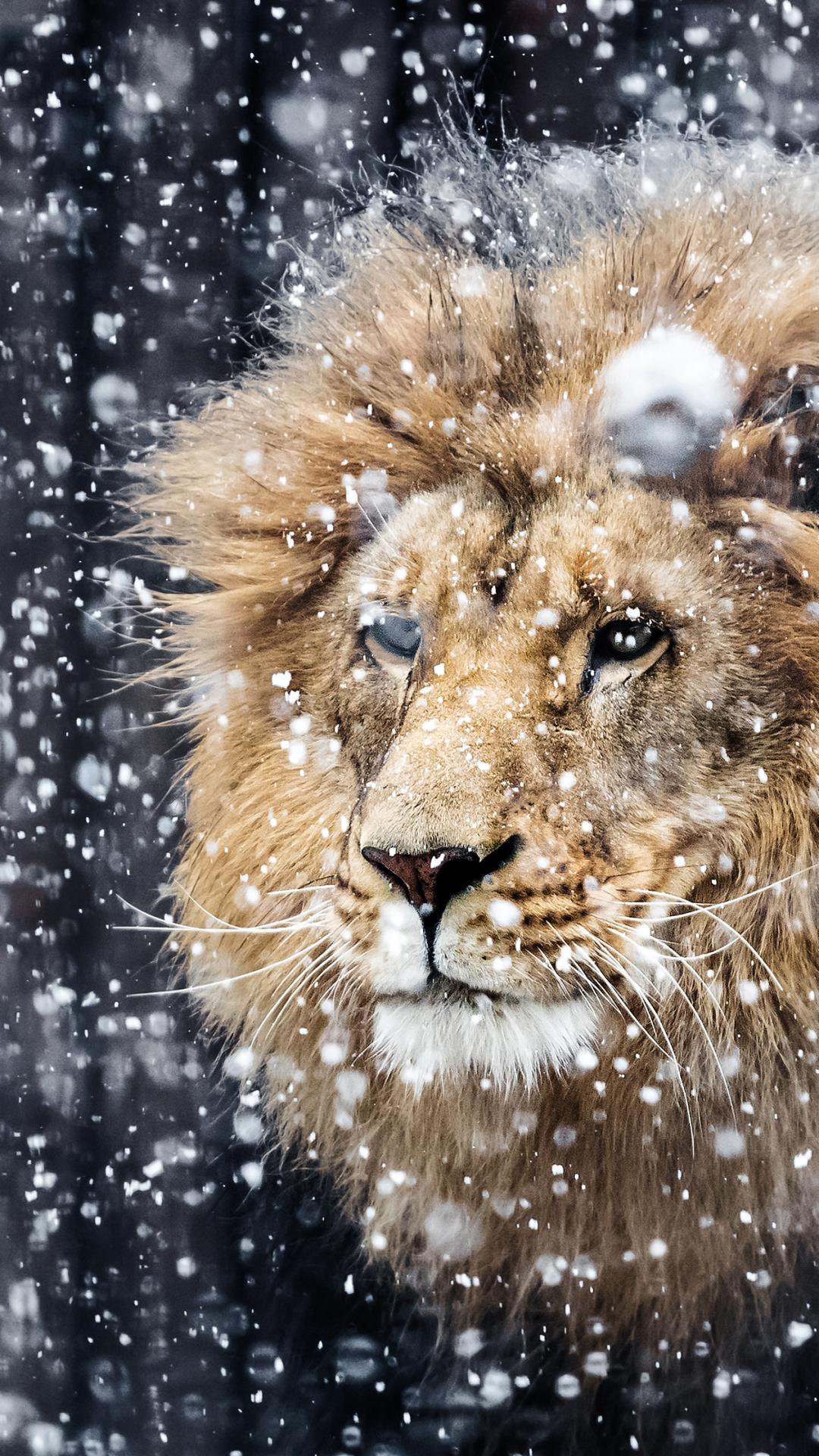Wallpaper iphone lion - Wallpaper 655300
