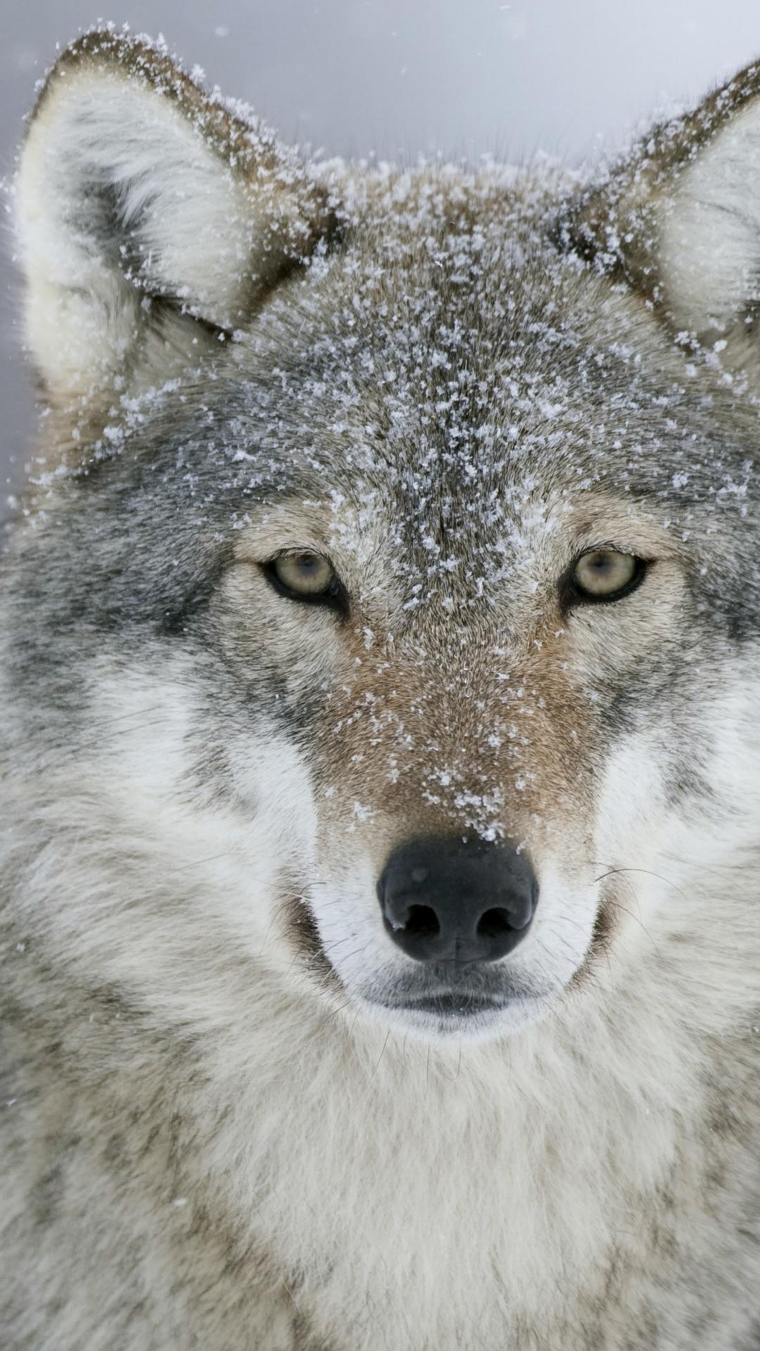 Download Wallpaper Macbook Wolf - 660274  Image_43596.jpg