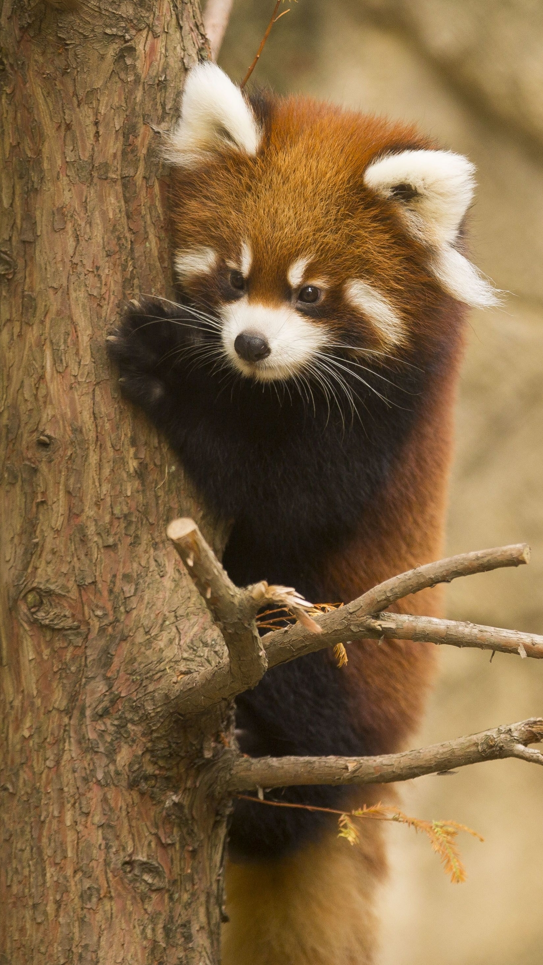 animal/red panda (1080x1920) wallpaper id: 662588 - mobile abyss