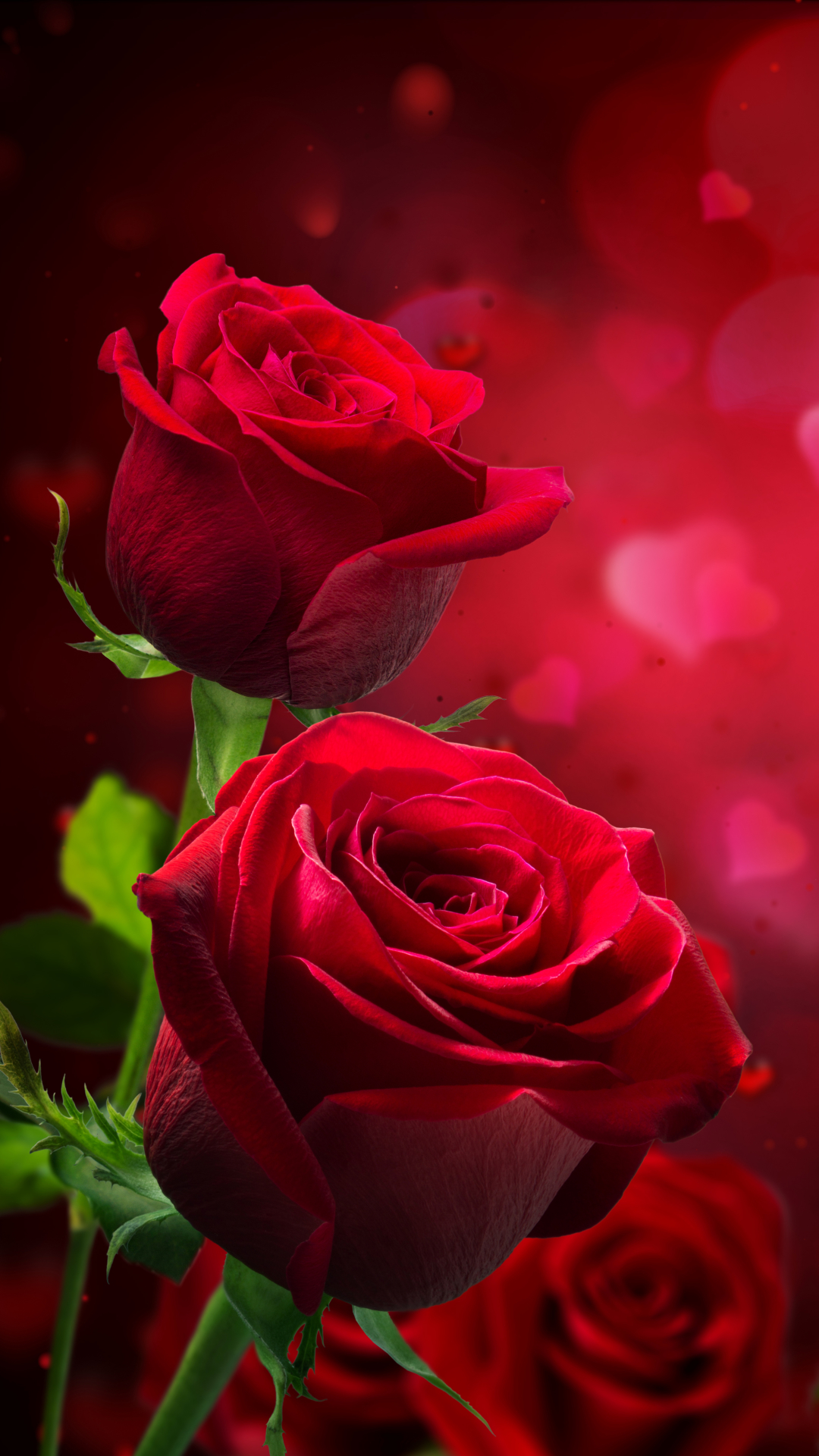 sweet red rose hd wallpaper