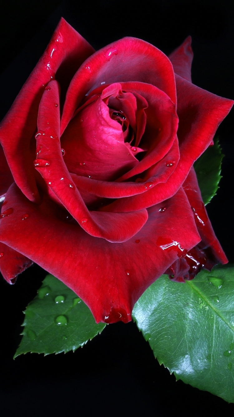 Beautiful Wallpaper Mobile Red Rose - 664415  Pictures_83641.jpg