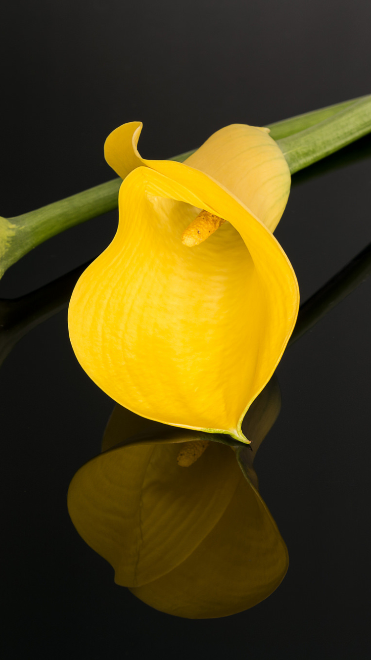 Iphone 7 earthcalla lily wallpaper id 664470 earth calla lily flowers flower reflection yellow flower wallpaper 664470 dhlflorist Images