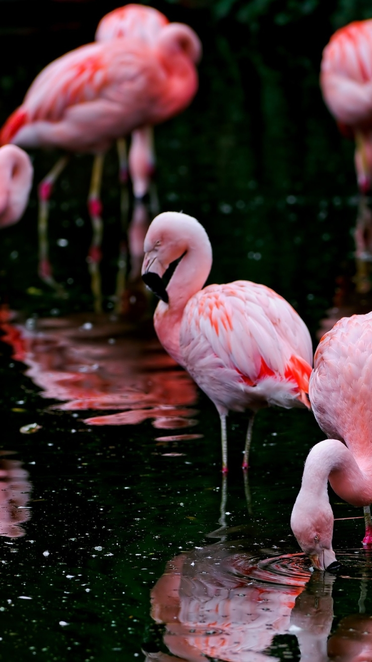 12 Flamingo Apple Iphone 7 750x1334 Wallpapers Mobile Abyss