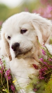15 Golden Retriever Apple Iphone 6 750x1334 Wallpapers Mobile Abyss