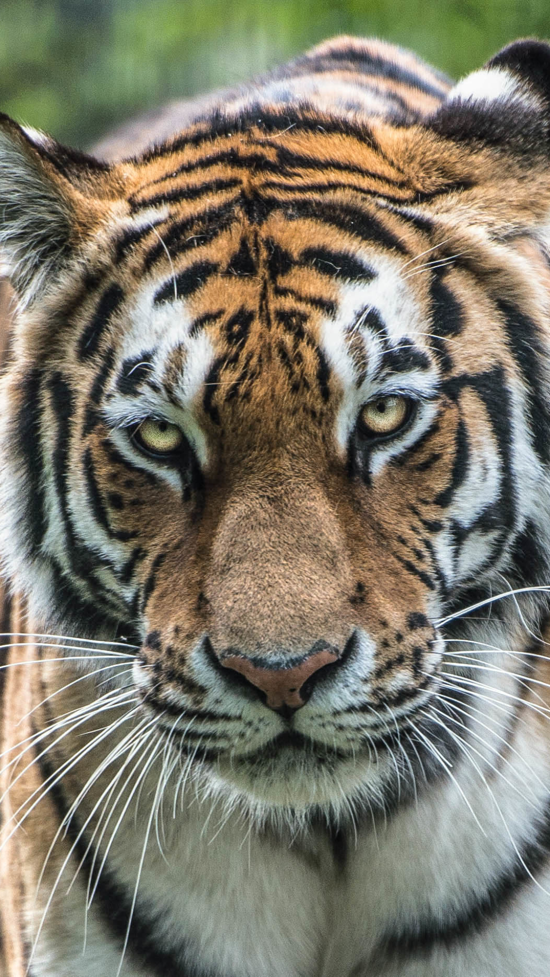 Best Wallpaper Mobile Tiger - 686867  Perfect Image Reference_74882.jpg