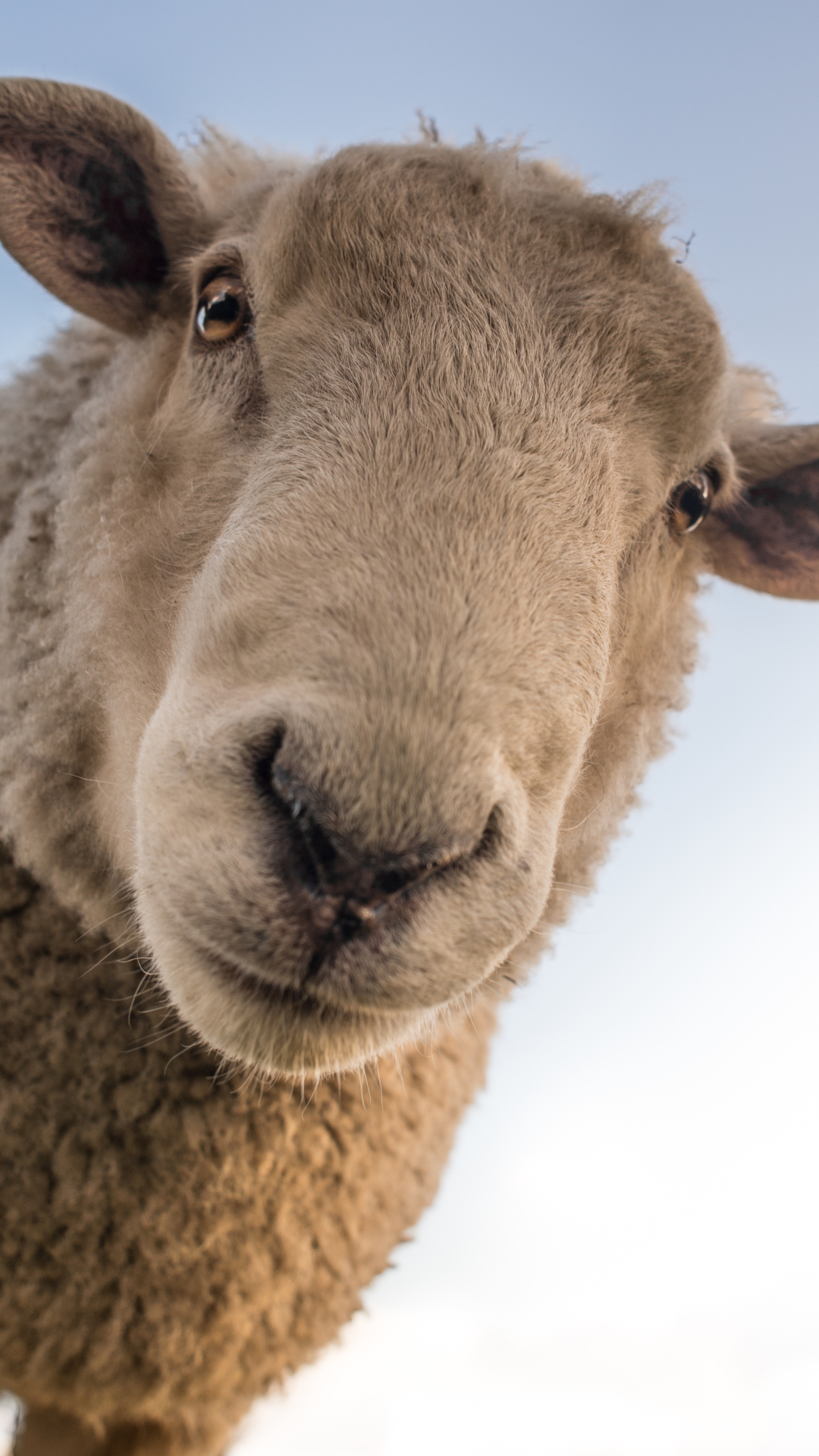 Animal Sheep 1080x1920 Mobile Wallpaper