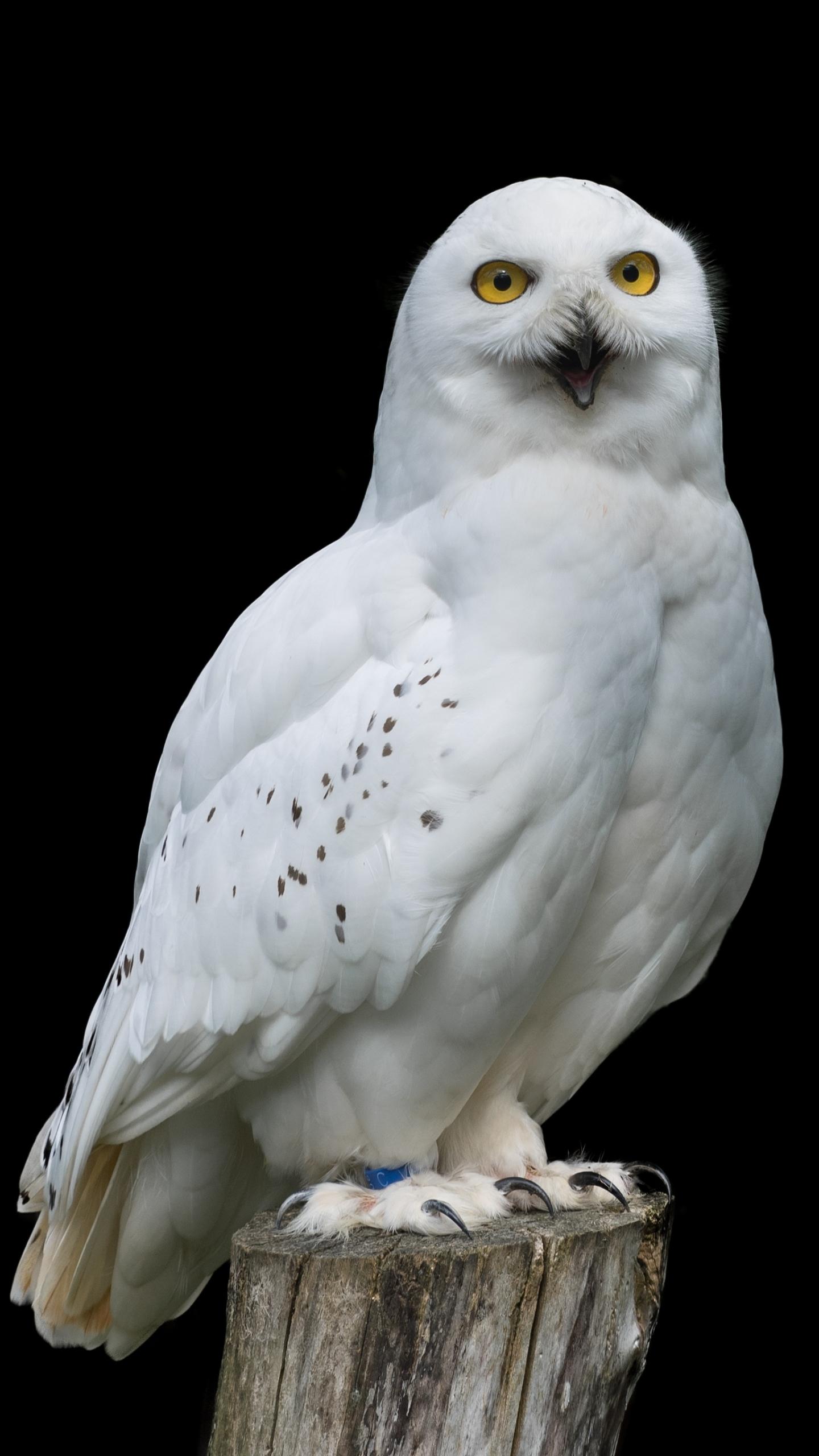 owl iphone wallpaper