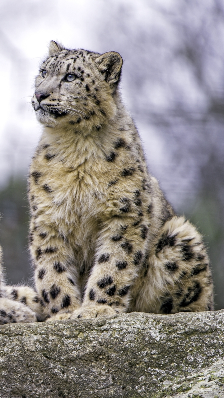 Animal Snow Leopard 720x1280 Wallpaper Id 702193 Mobile Abyss