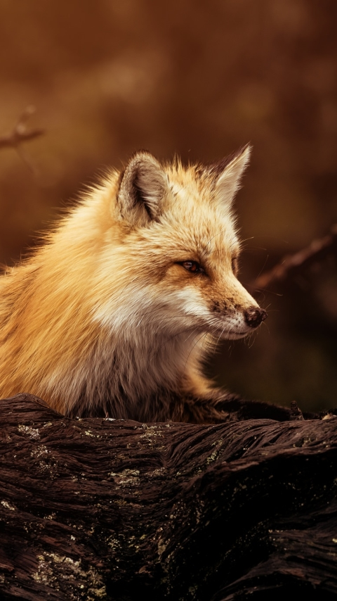 Animalfox 480x854 Wallpaper Id 709247 Mobile Abyss
