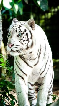 5 White Tiger Apple Iphone 7 Plus 1080x1920 Wallpapers