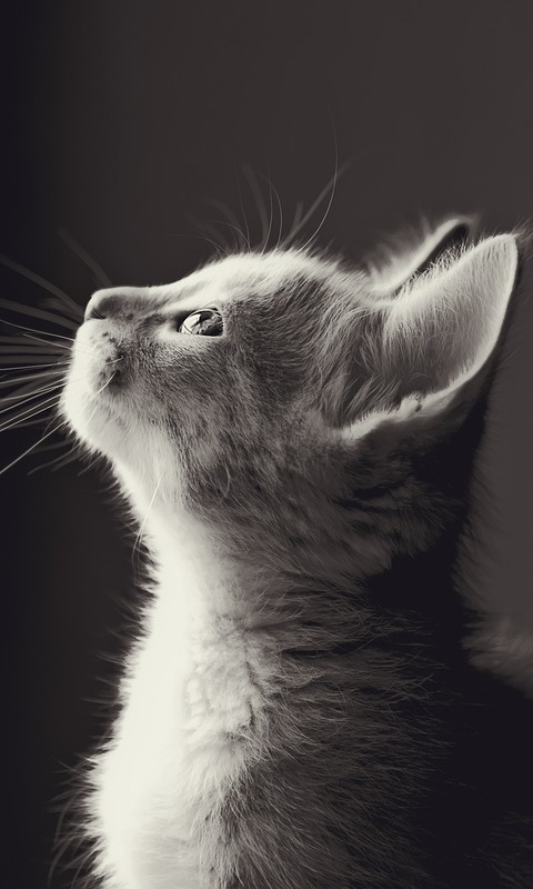 Animal Cat 480x800 Wallpaper Id 716879 Mobile Abyss