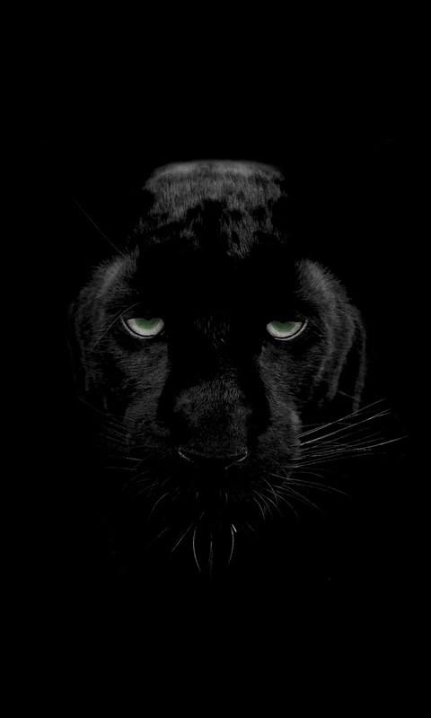 Animalblack Panther 480x800 Wallpaper Id 717089 Mobile