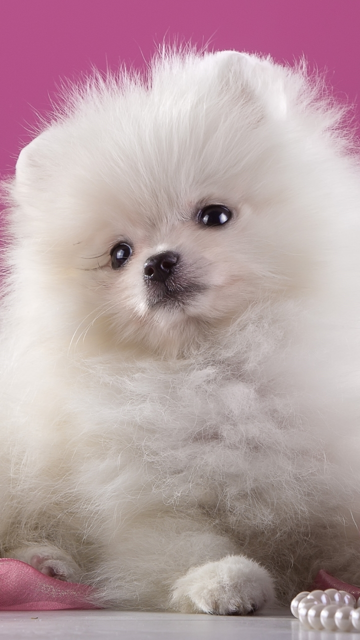 Pomeranian White Puppy Wallpaper