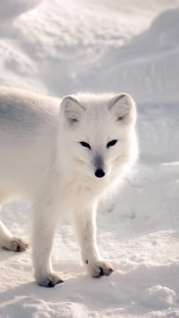 Sub-Gallery ID: 10364 Arctic Fox