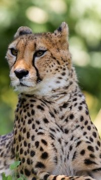 Sub-Gallery ID: 10370 Cheetah