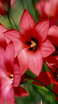 262 Red Flower Samsung Galaxy J5 720x1280 Wallpapers Mobile Abyss
