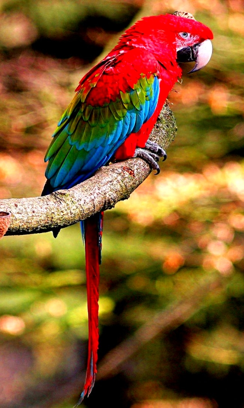 Wallpaper bird feathers beak parrot Ara Greenwinged macaw