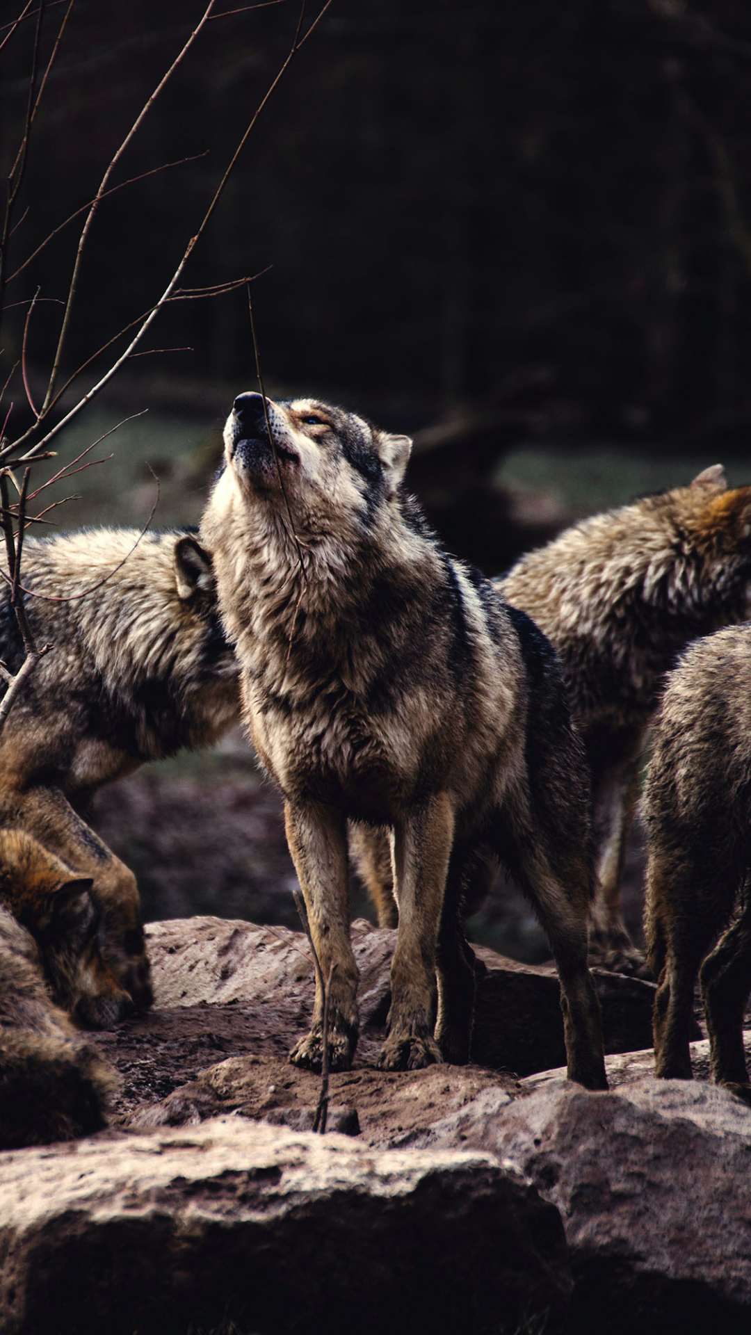 Animalwolf 1080x1920 Wallpaper Id 767709 Mobile Abyss