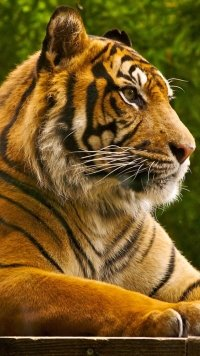 70 Tiger Apple Iphone 7 Plus 1080x1920 Wallpapers Mobile